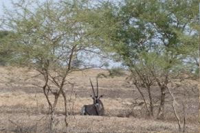 Fig. 10. Beisa Oryx (Oryx beisa), Allideghi Wildlife Reserve (© R. Moreaux)