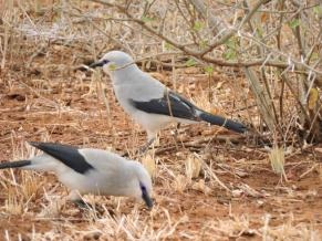 Fig. 7. Ethiopian Bush Crow (Zavattariornis stresemanni) in Borana National Park (© M. Succow)