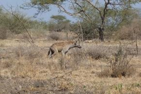 Fig. 9. Spotted Hyena (Crocutacrocuta), Allideghi Wildlife Reserve (© R. Moreaux)